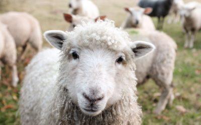 Wolle – das schwarze Schaf der Bekleidungsindustrie