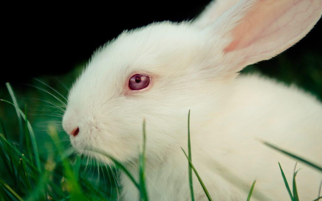 Tierversuche: Wie Kaninchen für uns leiden müssen